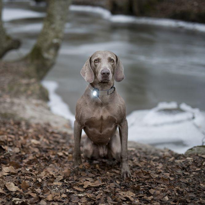 Orbiloc Dog Dual Sicherheitslicht für Hunde